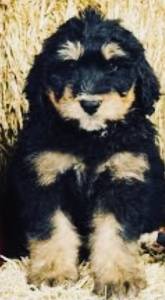 Phantom Bernedoodle puppy