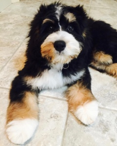 Tri-colored bernedoodle