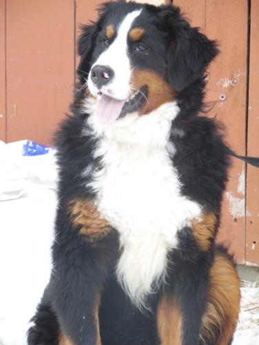 Oshie Edelweiss Bernese Mountain Dog