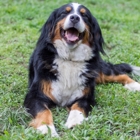 Upcoming Bernedoodle Puppies And Availability Massachusetts