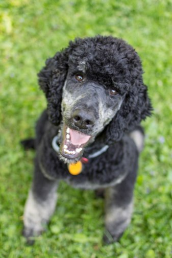 Sir Henry - AKC registered Standard Poodle with Phantom Markings