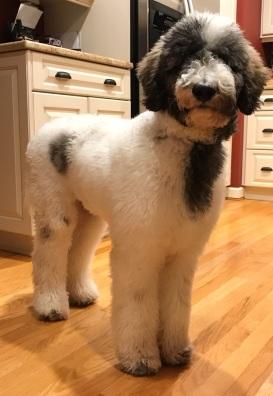 Sargent Pepper - AKC registered tri-colored Standard Poodle