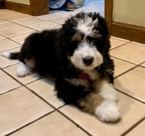 Puppy Pricing Massachusetts Bernedoodles