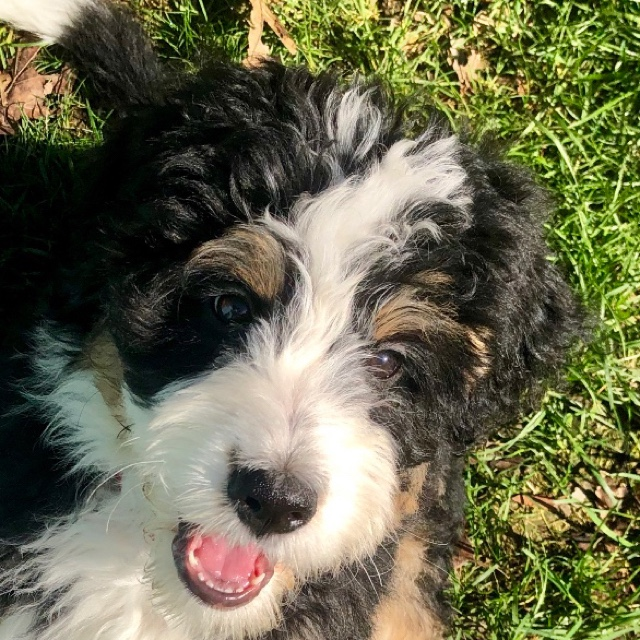 Massachusetts Bernedoodles Home Raised Bernedoodle And