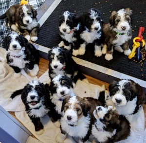 Massachusetts Bernedoodles – Home-Raised Bernedoodle and